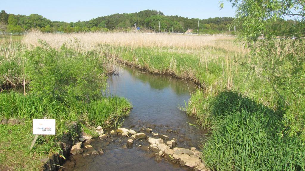 涸沼自然公園、白鳥が住んでいる小川