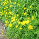 唐松岳頂上山荘直下の花