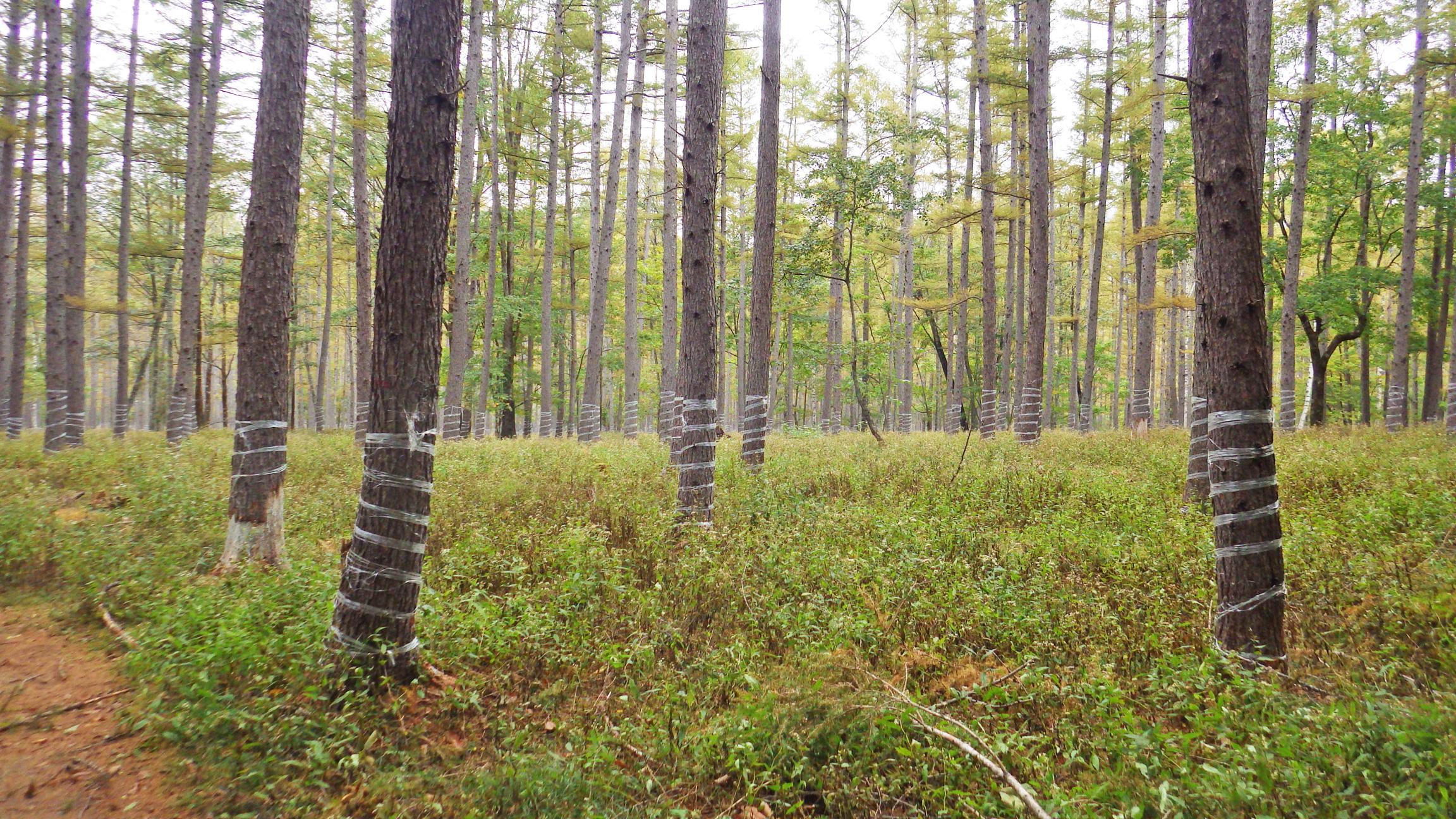 鹿による樹皮剥ぎ防止用のぐるぐる巻き