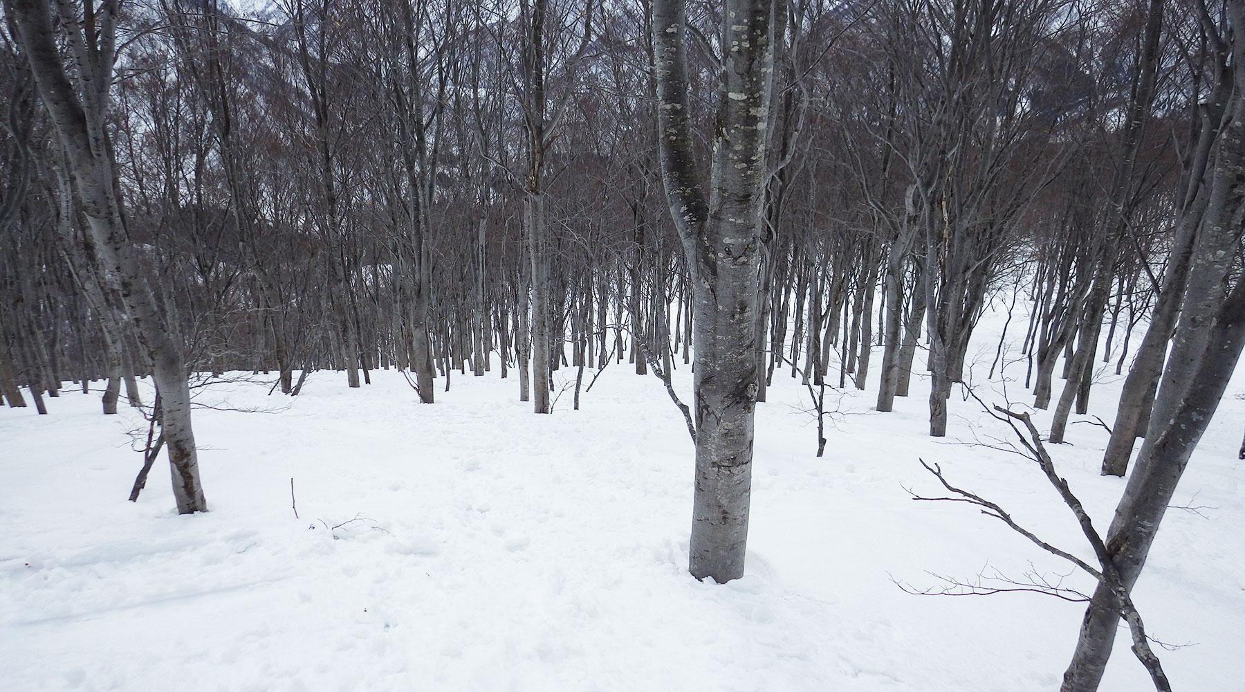 巻機山・井戸尾根下部の樹林帯