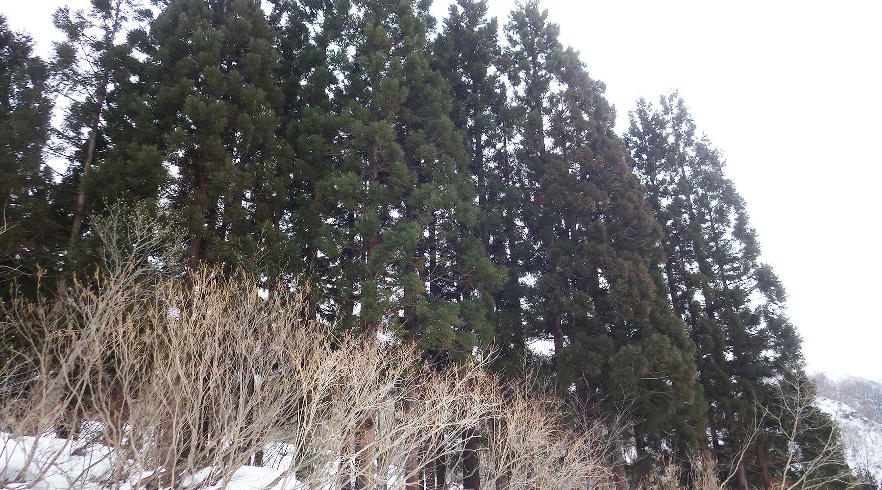 巻機山山麓の杉林