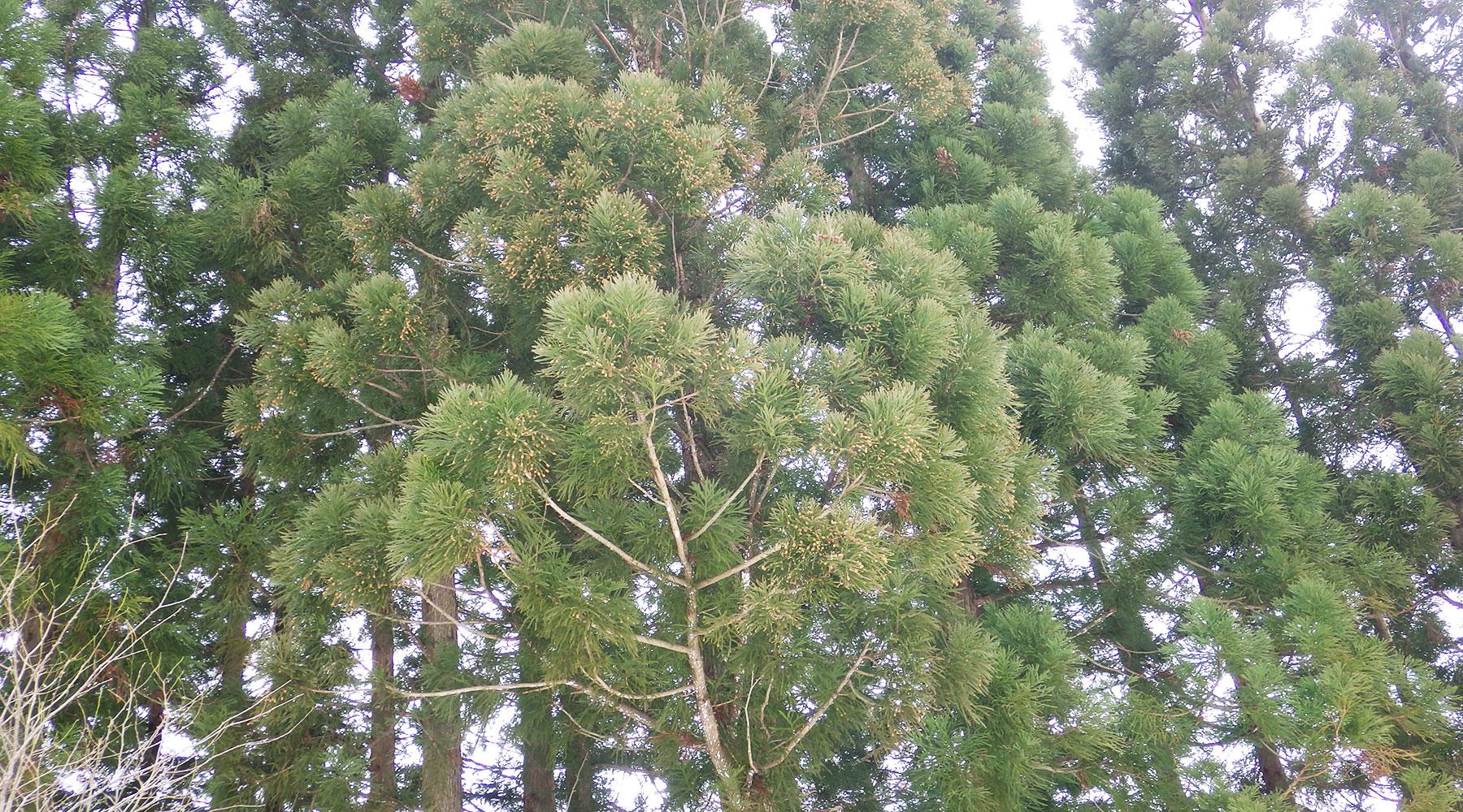 巻機山山麓の杉の木