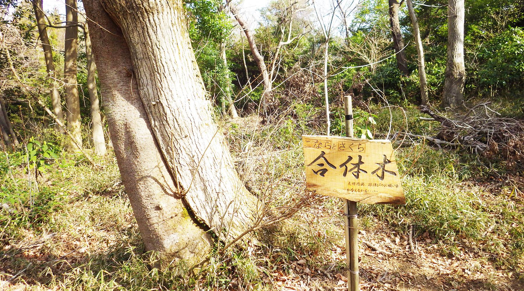 尖浅間・合体木
