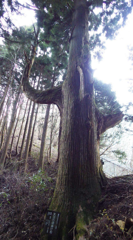 天狗の腰かけ杉