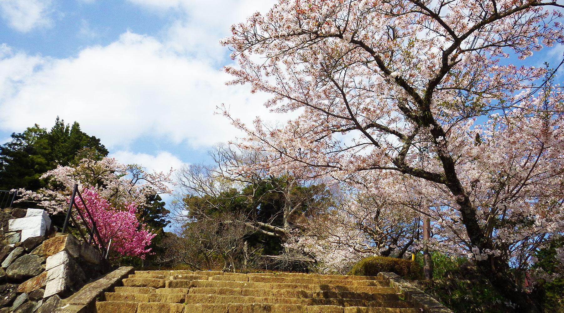 筑波山神社前の桜と梅