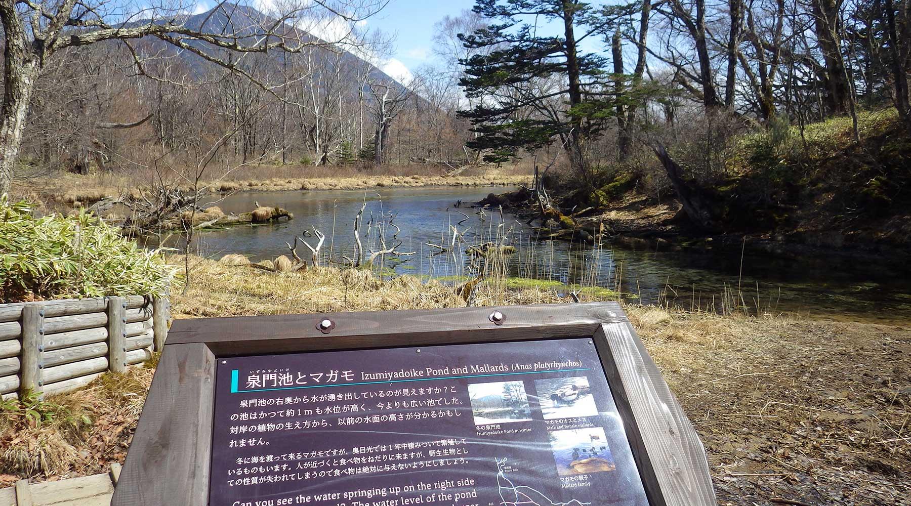 泉門池とマガモ