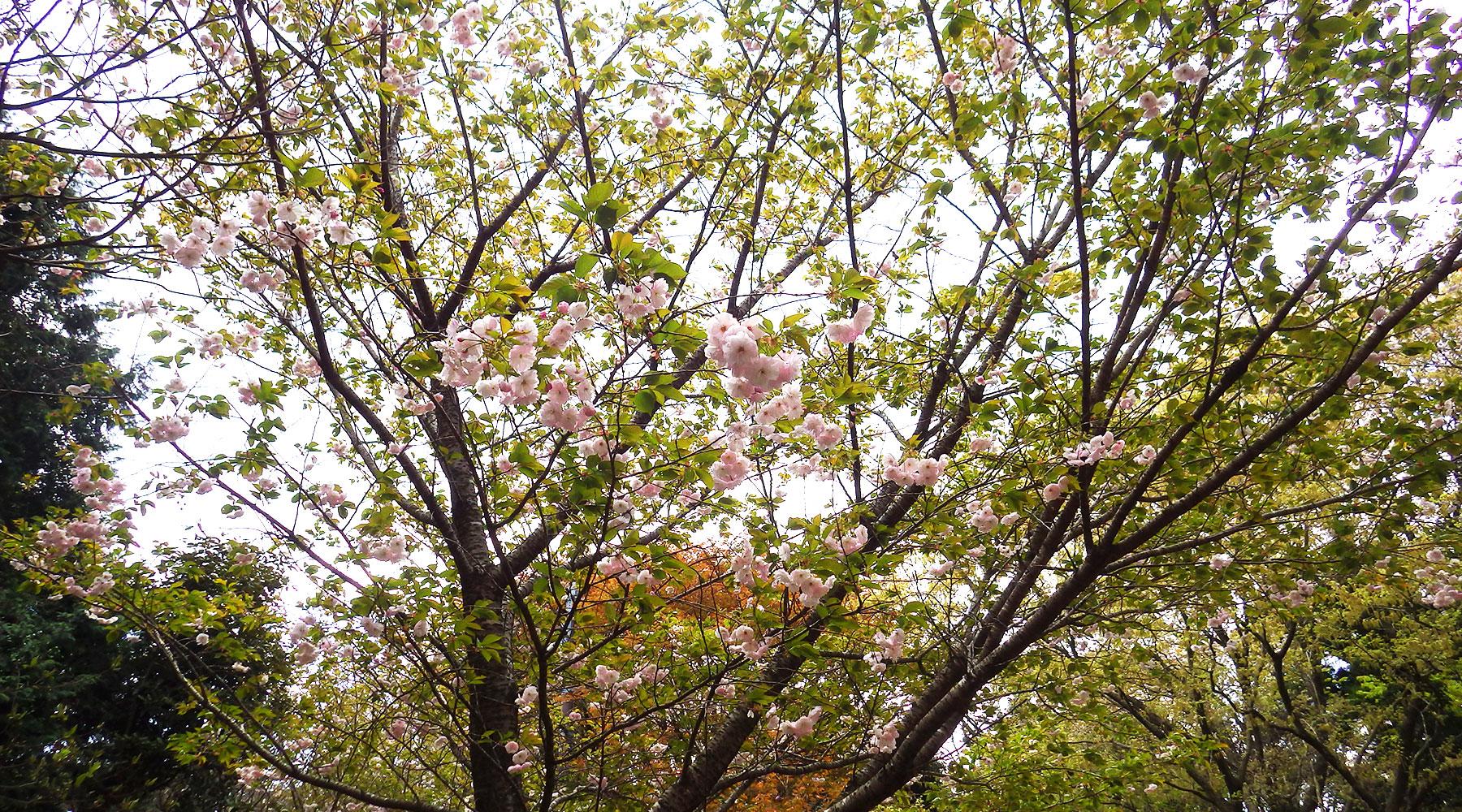 宝篋山山頂下にある山桜