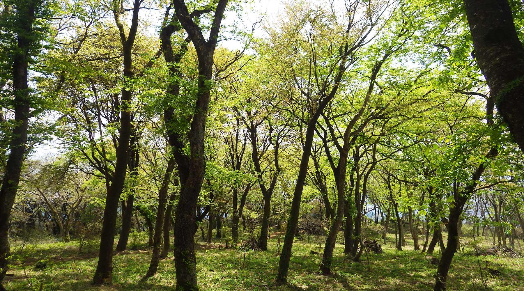 宝篋山山頂下にある山桜の森