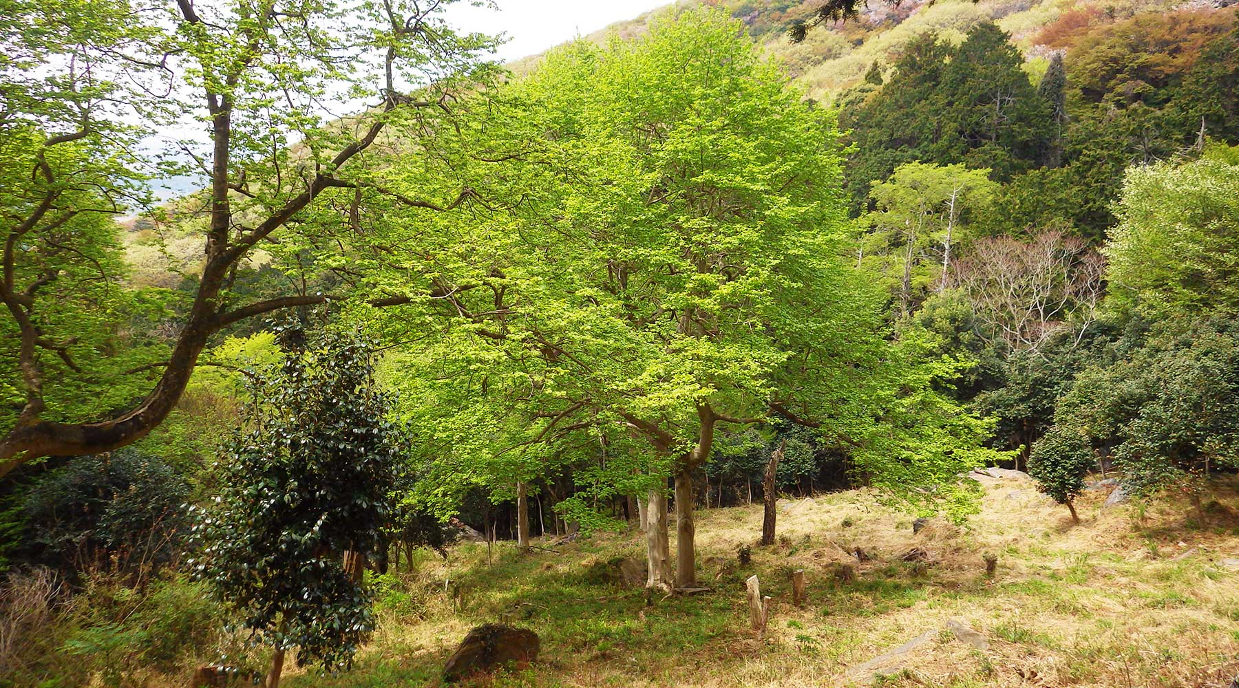 宝篋山極楽寺コース途中にあるコブシの木